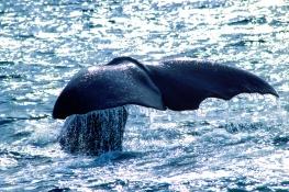 Sperm whale / Kaskelot  UA-5