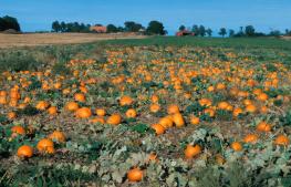 Pumpkins / Pumpor UA-117