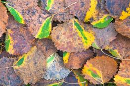 Autumn leaf / Höstlöv 2