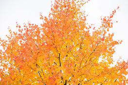 Auumn leaf  / Höstlöv_DSC6491