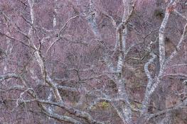 Birches / Björkar