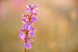 Orkidee