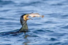 Cormorant / Storskarv 1