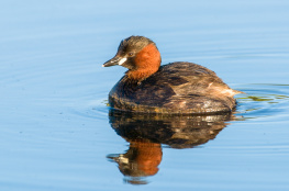Little grebe / Smådopping 1