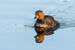 Little grebe / Smådopping 2