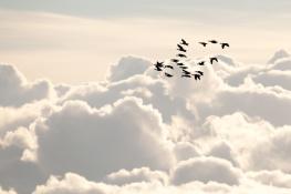 Barnacle goose / Vitkindadgås _DSC8134