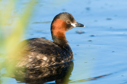 Little grebe / Smådopping 4