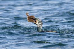 Cormorant / Storskarv 3