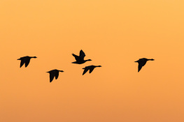 Barnacle goose / Vitkindadgås _DSC7481