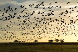 Barnacle goose / Vitkindadgås _DSC1603