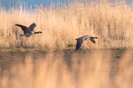 Canada goose / Kanadagås _DSC2745
