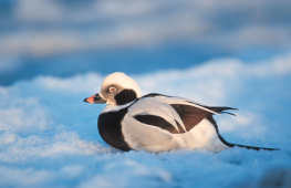 Long tailed duck / Alfågel  UA-1317