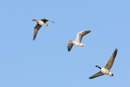 Canada goose - Greylag goose - Bean goose / kanadagås - Grågås - Sädgås