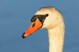 Mute swan / Knölsvan 1