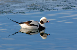 Long tailed duck / Alfågel 1