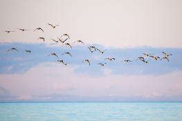 Barnacle goose / Vitkindadgås 1
