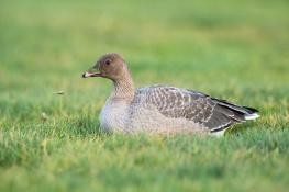 Pink footed goose / Spetsbergsgås_DSC7297