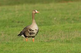 White fronted goose / Bläsgås