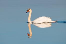 Mute swan / Knölsvan 2