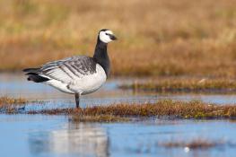 Barnacle goose / Vitkindadgås 2