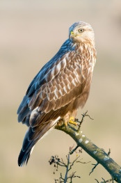 Rough legged buzzard / Fjällvråk 2