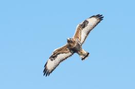 Rough legged buzzard / Fjällvråk _DSC1106