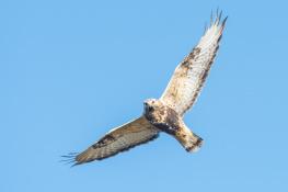 Rough legged buzzard / Fjällvråk _DSC1182