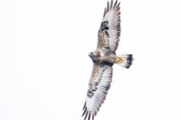 Rough legged buzzard / Fjällvråk _DSC1442