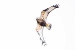 Rough legged buzzard / Fjällvråk _DSC1392