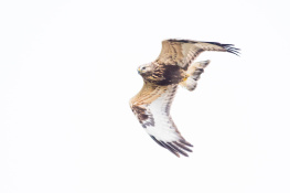 Rough legged buzzard / Fjällvråk _DSC1394