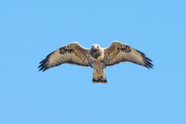 Rough legged buzzard / Fjällvråk _DSC1221