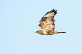 Rough legged buzzard / Fjällvråk _DSC0886