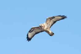Rough legged buzzard / Fjällvråk _DSC1065