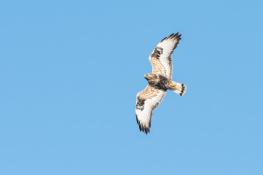 Rough legged buzzard / Fjällvråk _DSC1124