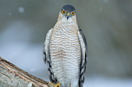 Sparrowhawk / Sparvhök 1