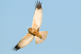 Marsh harrier / Brun kärrhök 1