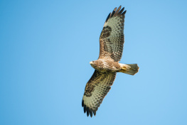 Common buzzard / Ormvråk _DSC7058