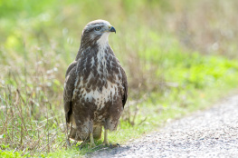 Common buzzard / Ormvråk 2