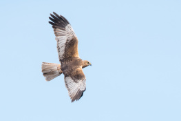 Marsh harrier / Brun kärrhök _DSC7861