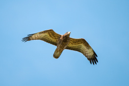 Honey buzzard / Bivråk 2