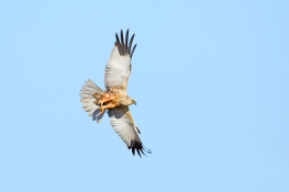 Marsh harrier / Brun kärrhök 2