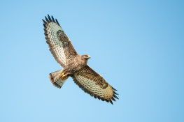 Common buzzard / Ormvråk 3