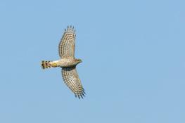 Sparrowhawk / Sparvhök 2