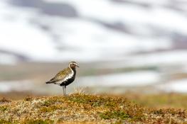 Golden plover / Ljungpipare 1