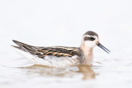 Red necked phalarope / Smalnäbbad simmsnäppa 2
