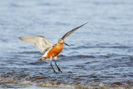 Bar tailed godwit / Myrspov