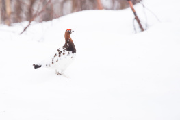 Red grouse / Dalripa _DSC5072