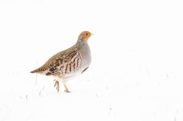 Grey partridge / Rapphöna _DSC5510
