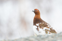 Red grouse / Dalripa _DSC3350