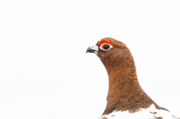 Red grouse / Dalripa _DSC4067